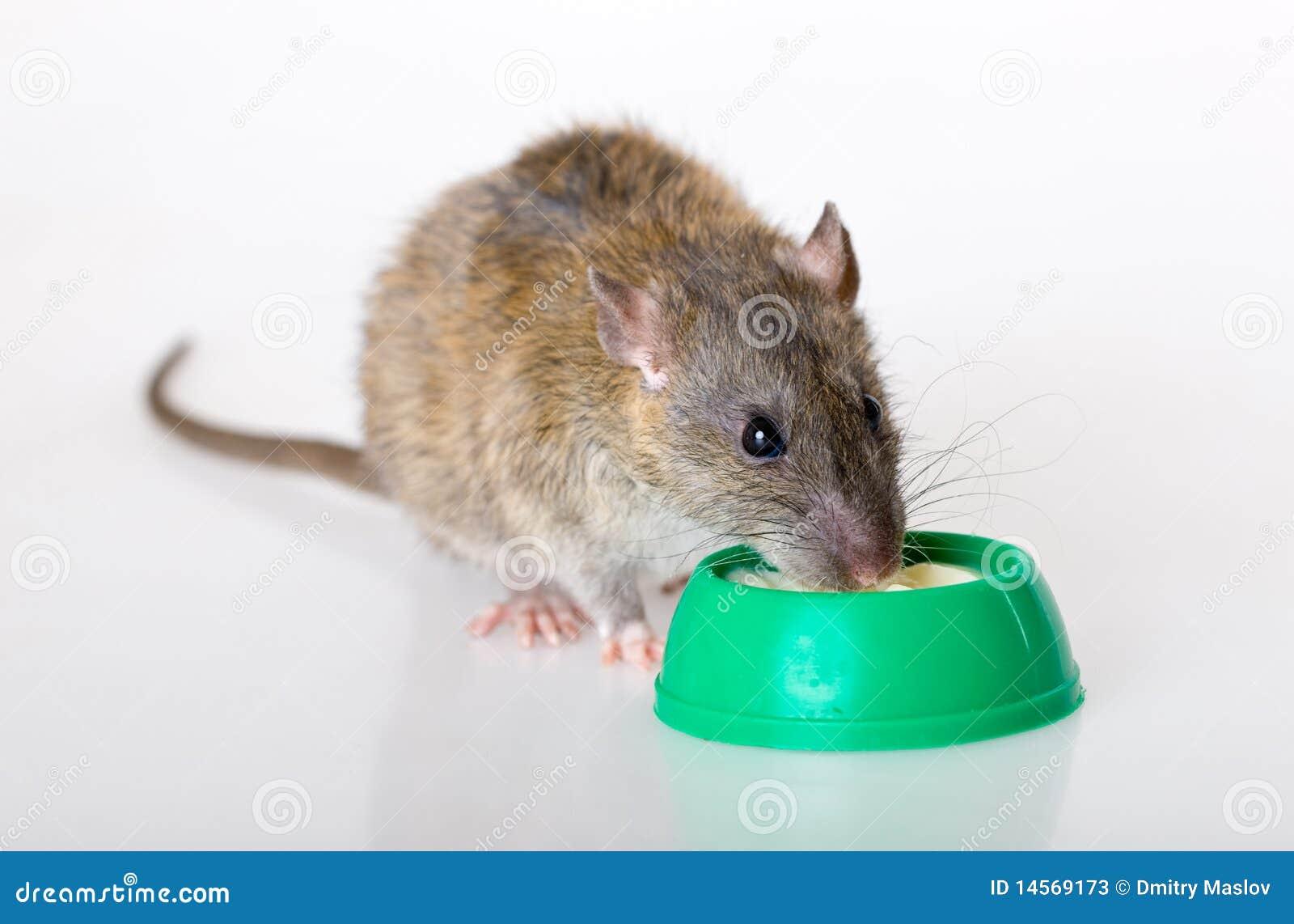 отечественно ест югурт крысы