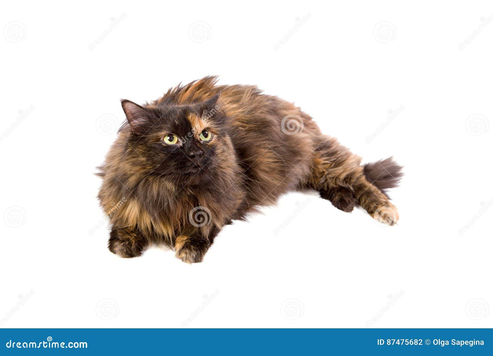 Отечественный запятнанный кот