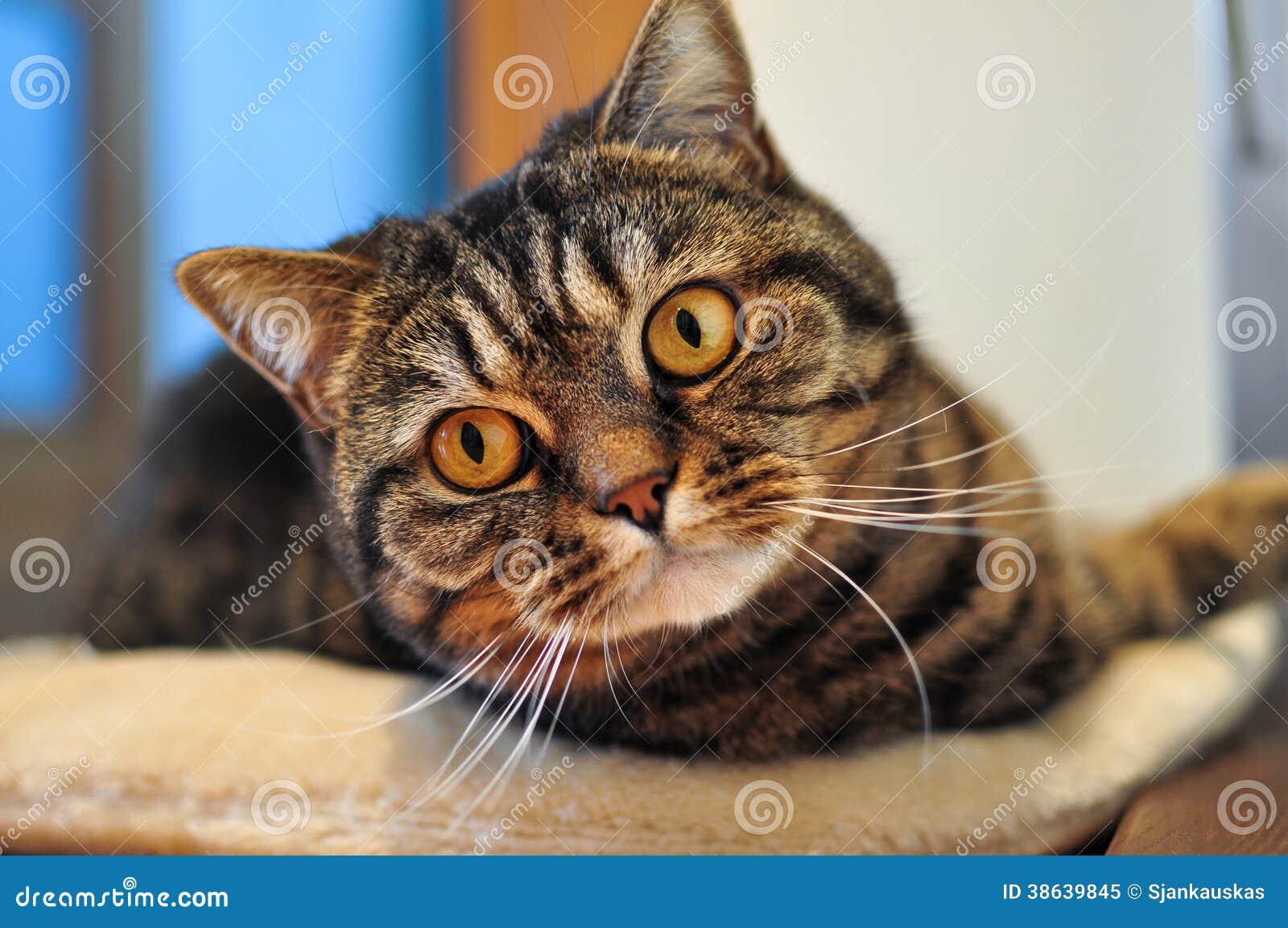 Отечественный кот tabby