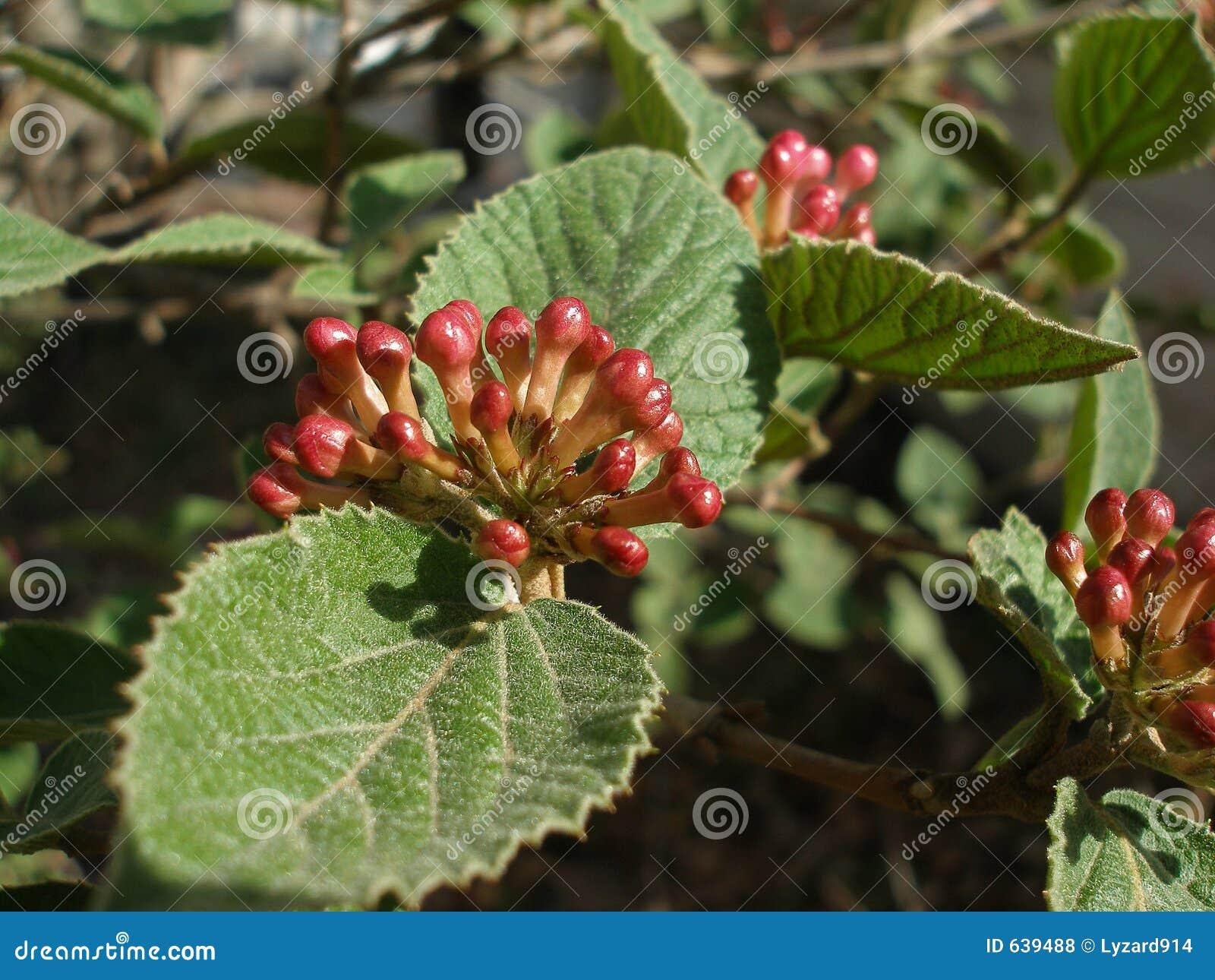 Download отпочковывает hydrangea стоковое фото. изображение насчитывающей плоть - 639488