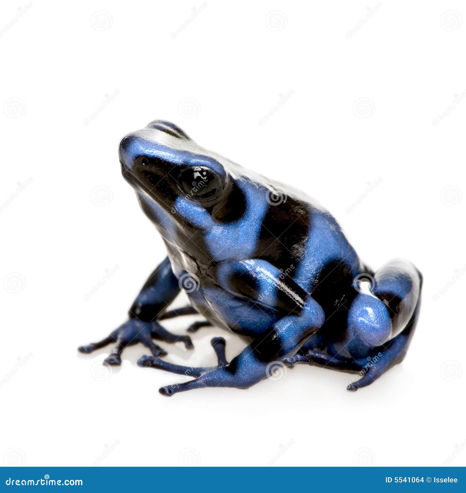 отрава лягушки dendrobates дротика ауры черная голубая