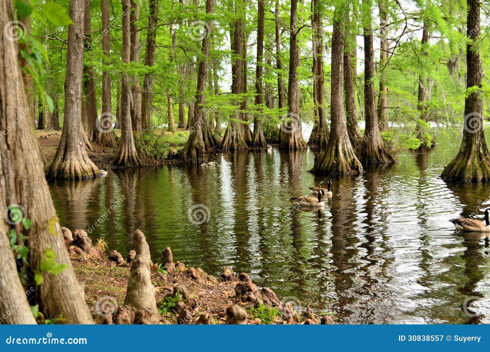Отражение дерева Cypress, колено дерева Cypress