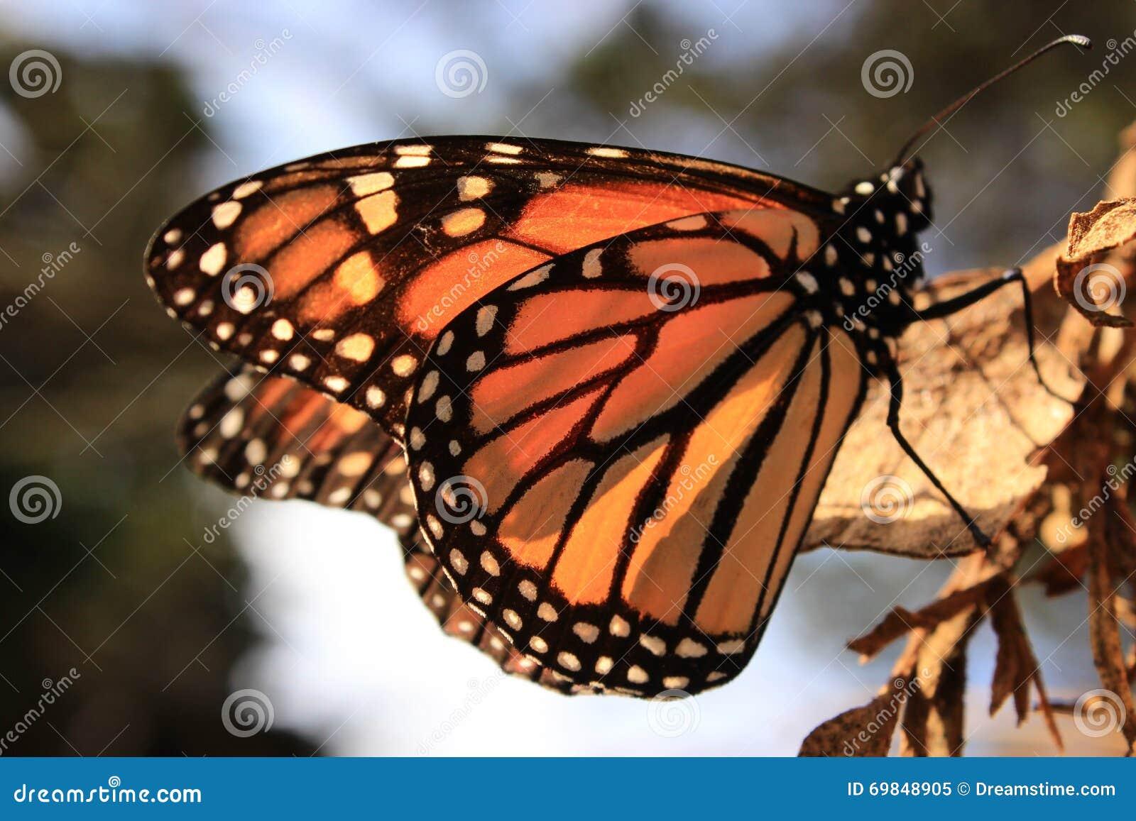 отдыхать монарха листьев бабочки