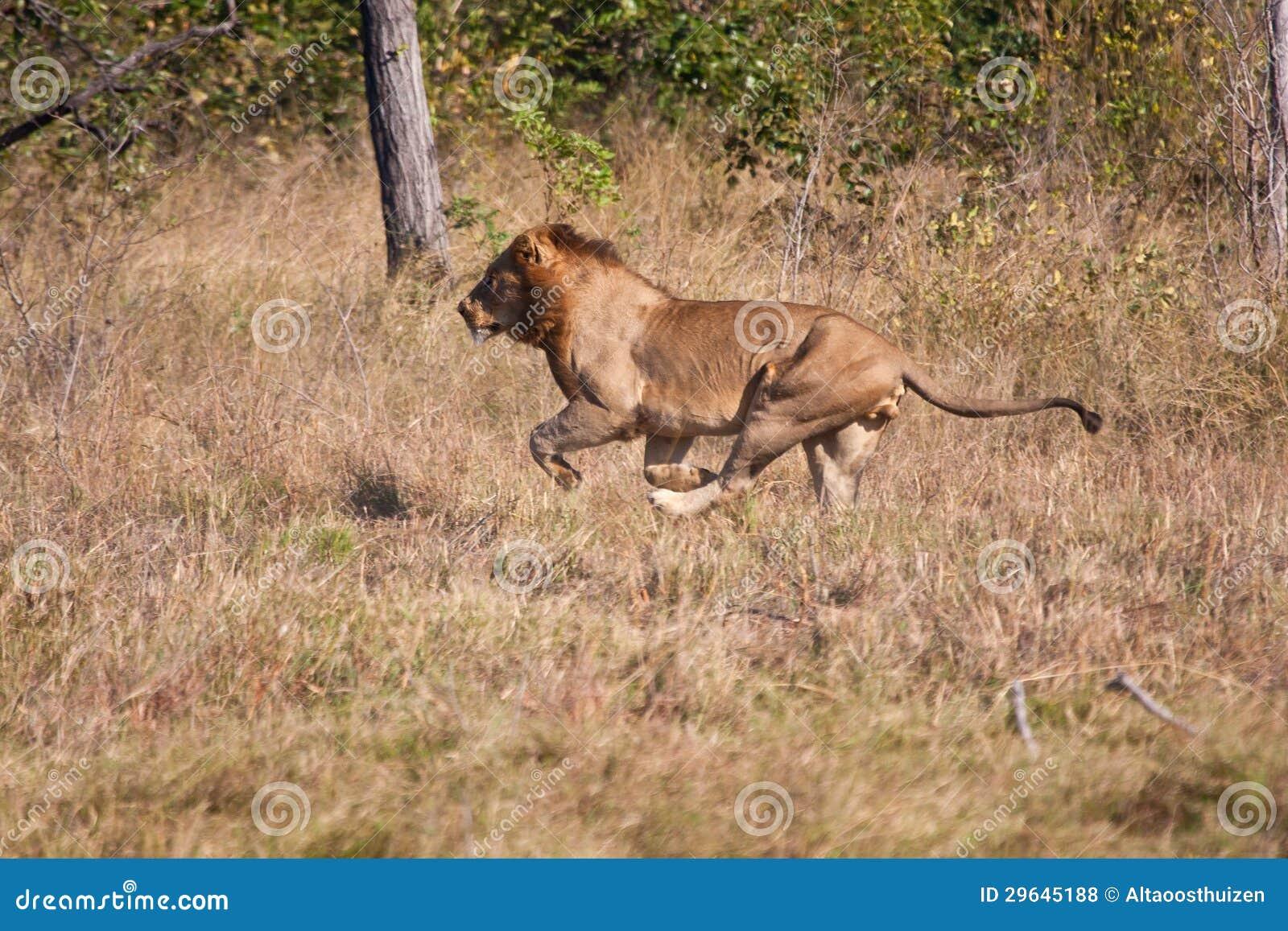 Охота льва, котор мыжская побежали быстро