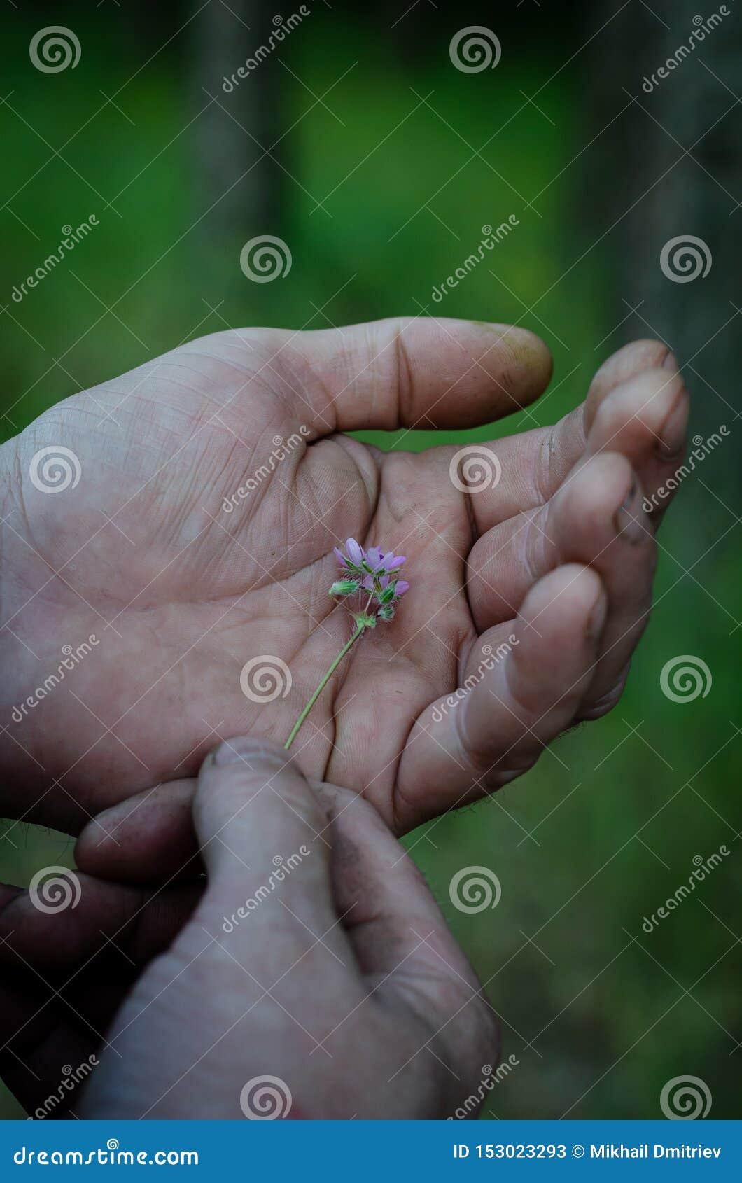 Очень небольшой пурпурный wildflower в женских руках o r