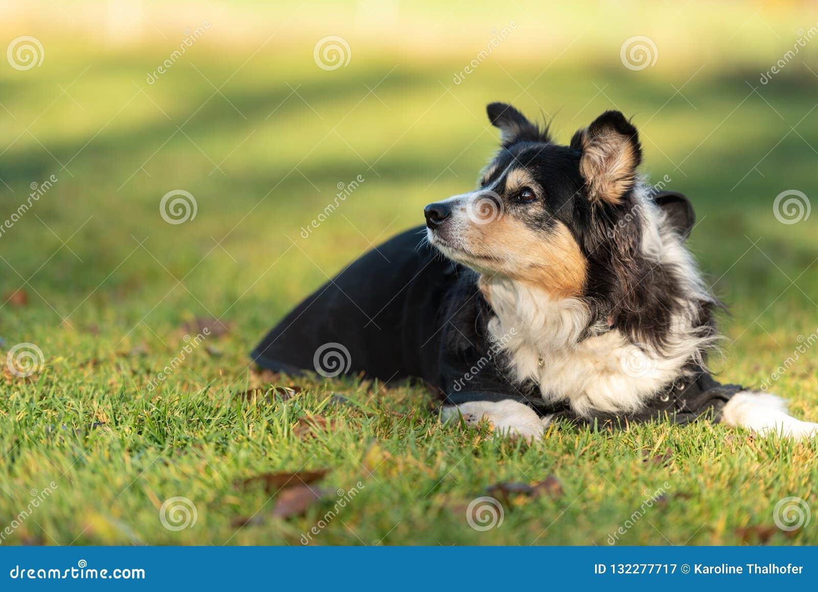 Очень старая собака лежит в траве в осени