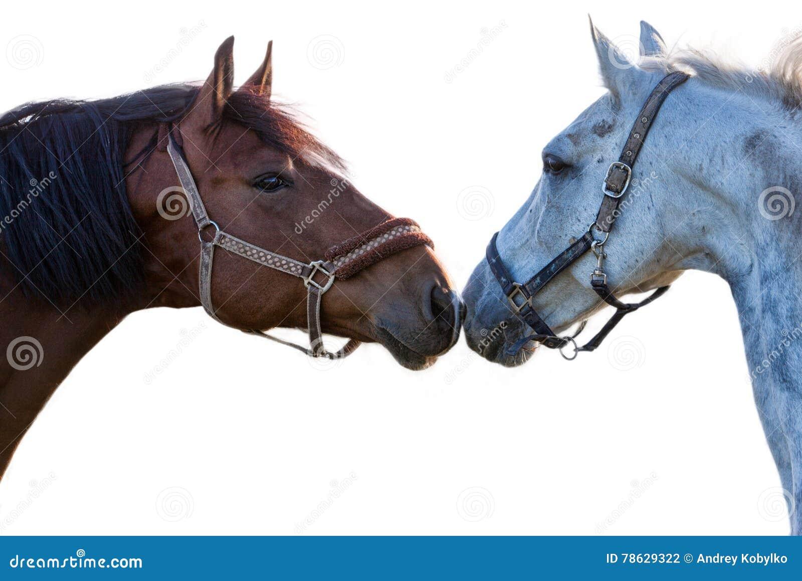 2 лошади на белой предпосылке