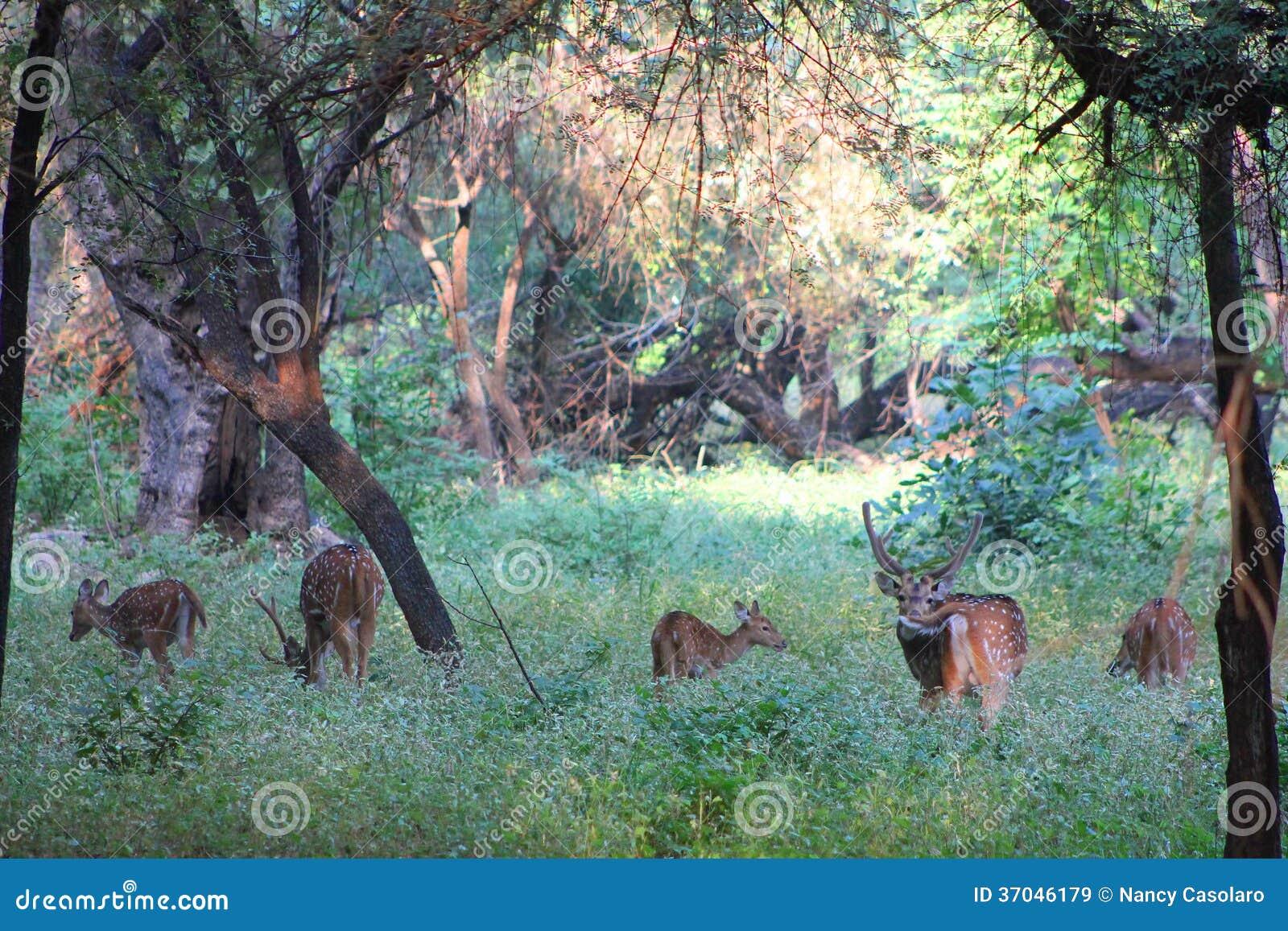 5 оленей