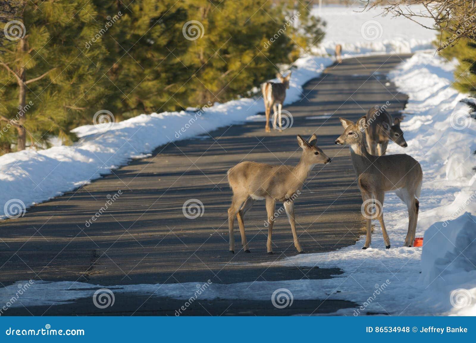 олени заискивают whitetail любящей мамы наблюдательный