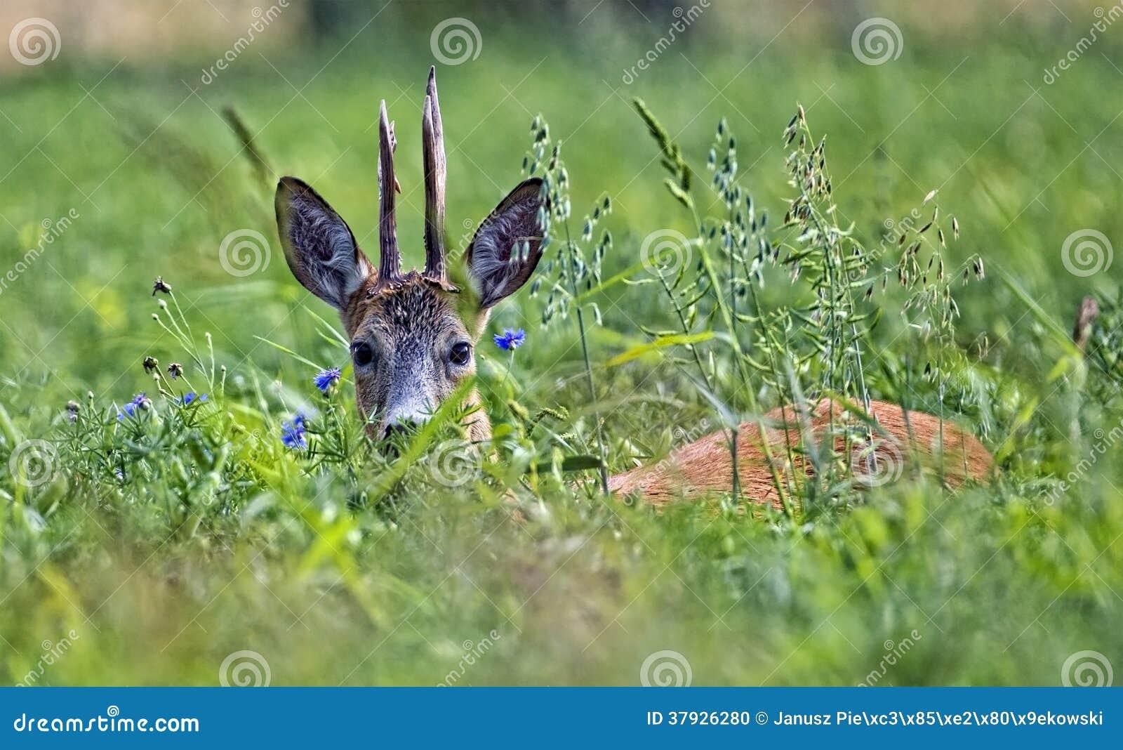 Олени самца оленя спрятанные в траве