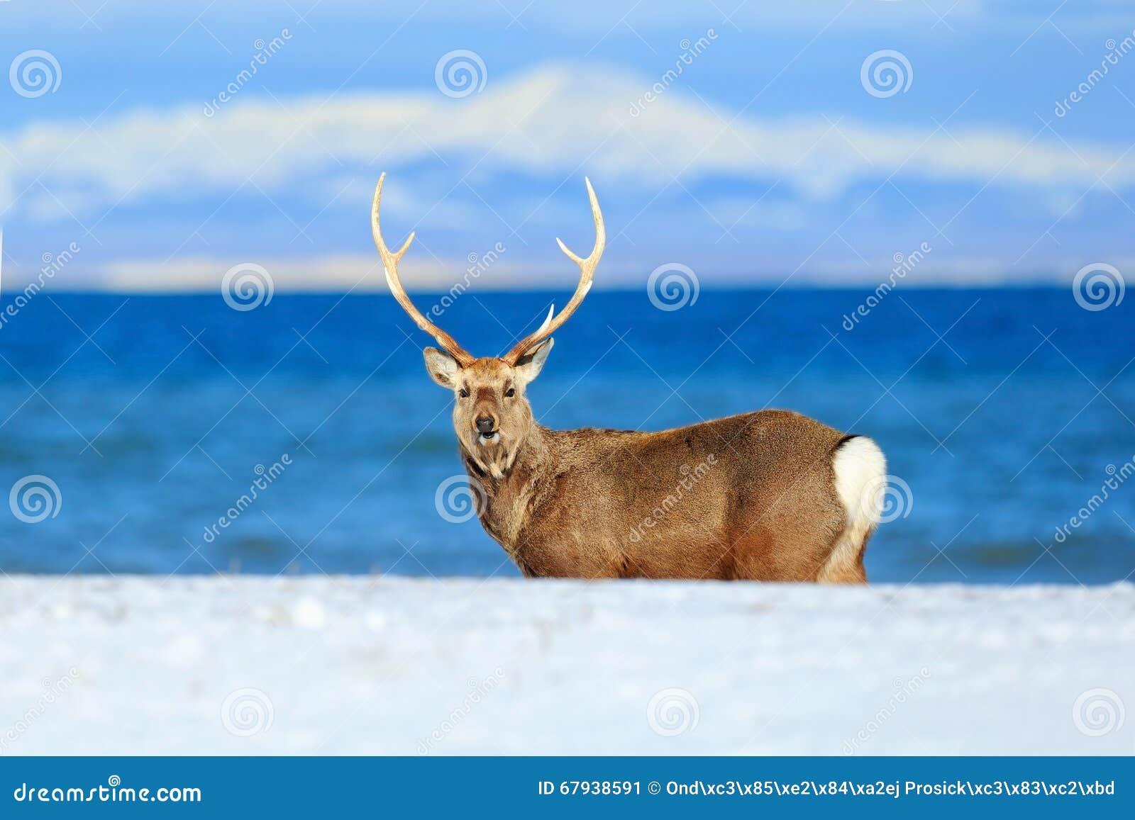 Олени sika Хоккаидо, yesoensis японии Cervus, в побережье с синим морем, горы зимы на заднем плане, животное с antl