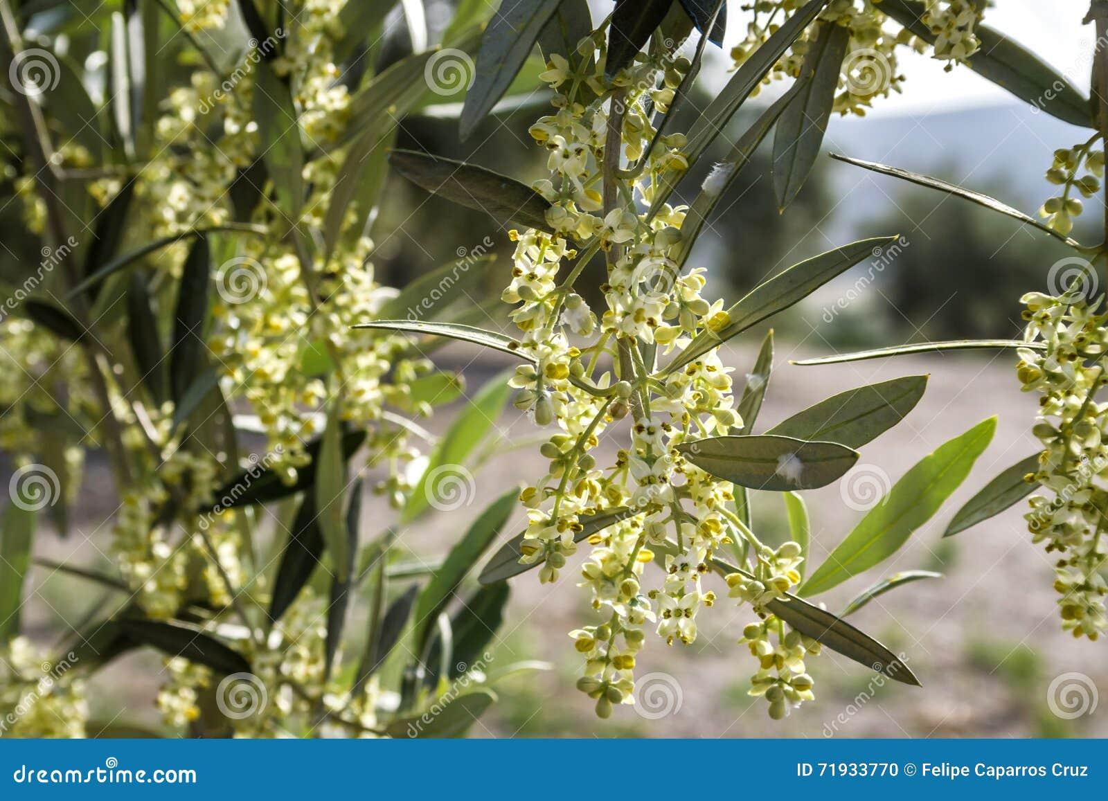 Оливковое дерево в цветени во время весны