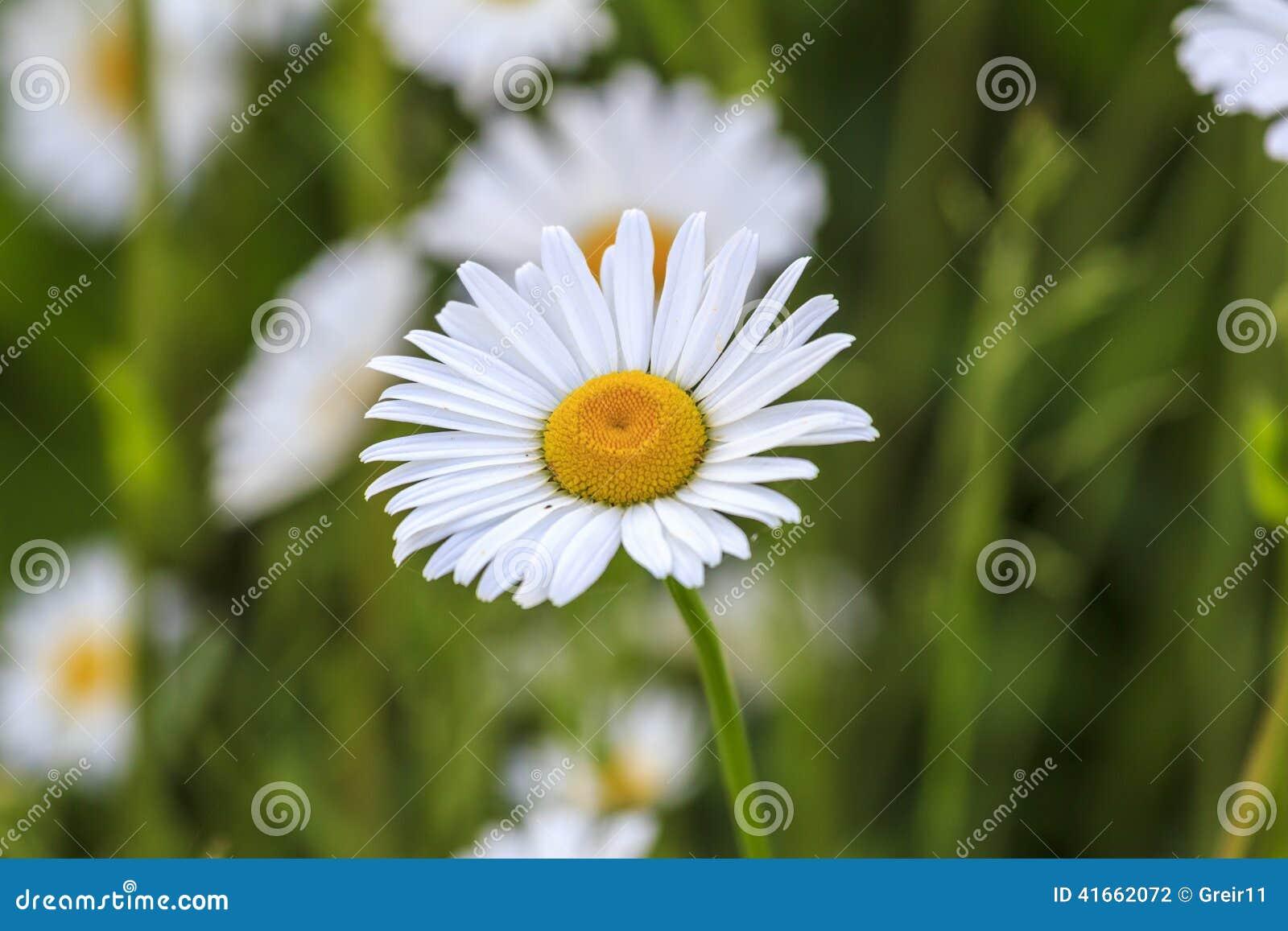 Одиночный белый и желтый camonile цветок