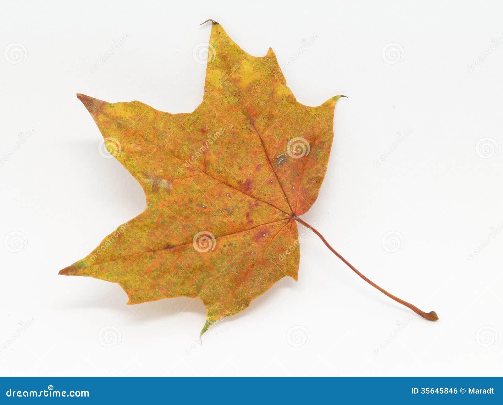 Одиночный кленовый лист