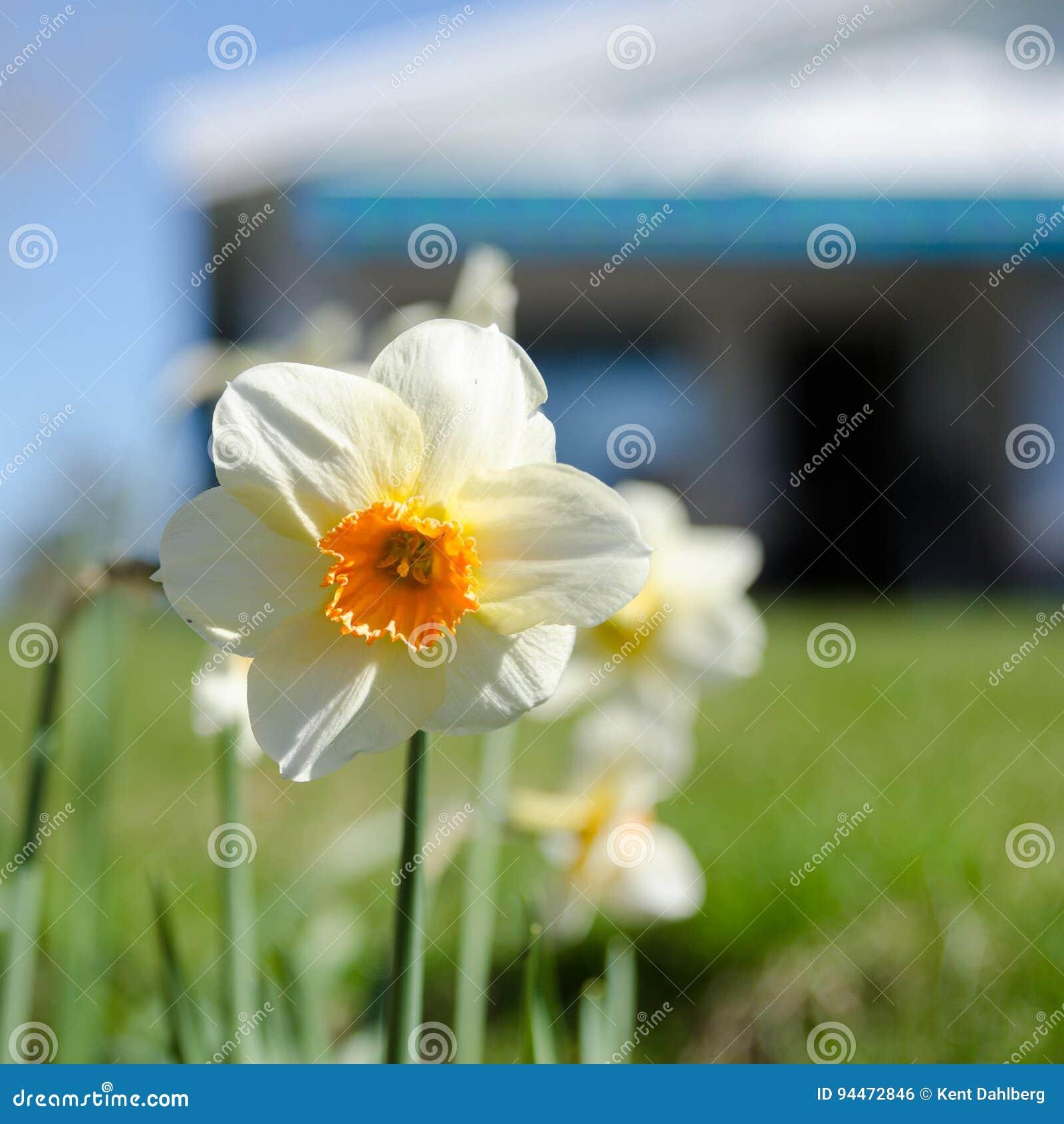 Один белый и оранжевый красивый цветок