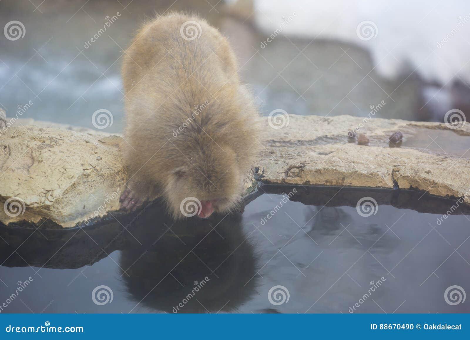 Одичалая обезьяна снега смотрит его отражение ` s