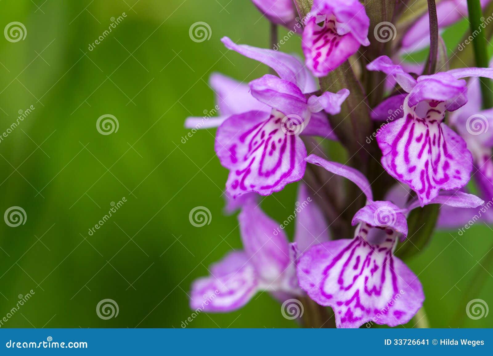 Одичалая орхидея