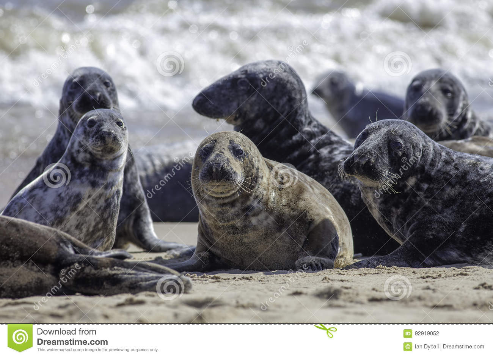 Одичалая серая колония уплотнения на пляже на Horsey Великобритании