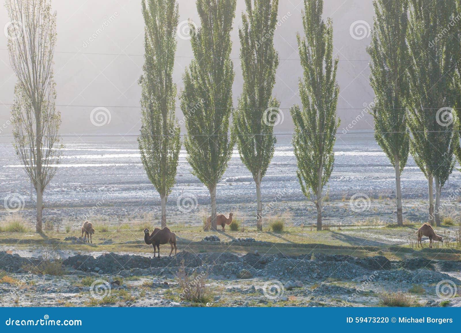 Одичалые верблюды в долине горы