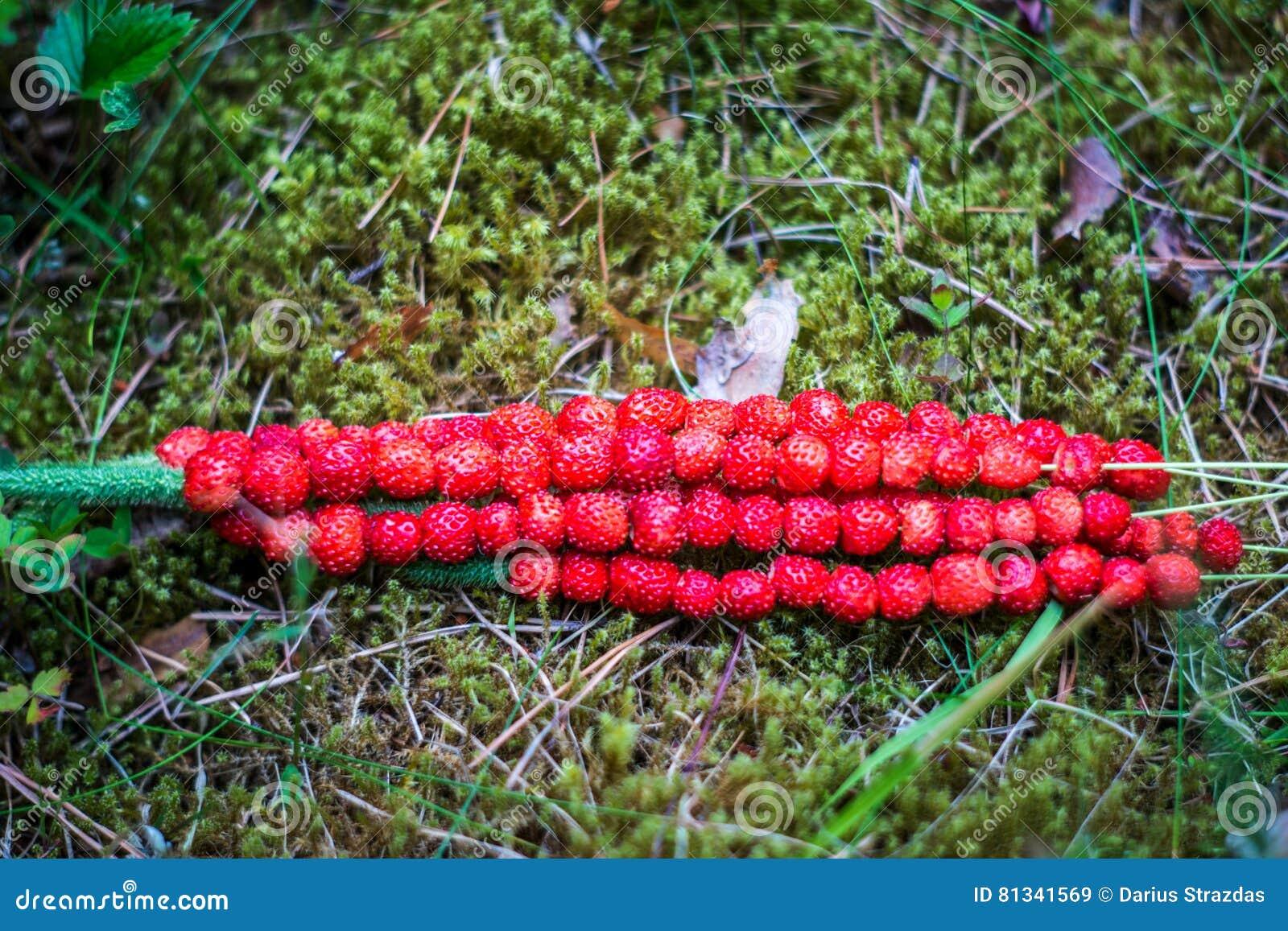 Одичалые клубники в природе