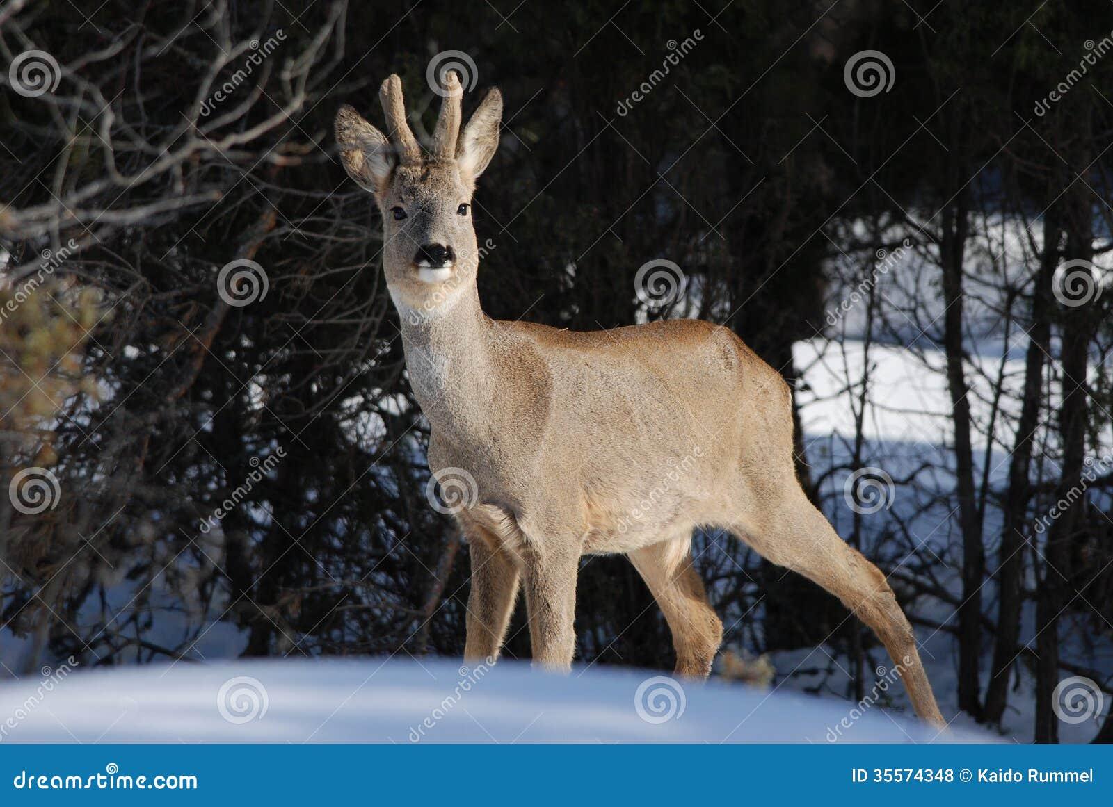 Одичалые олени косуль в зиме