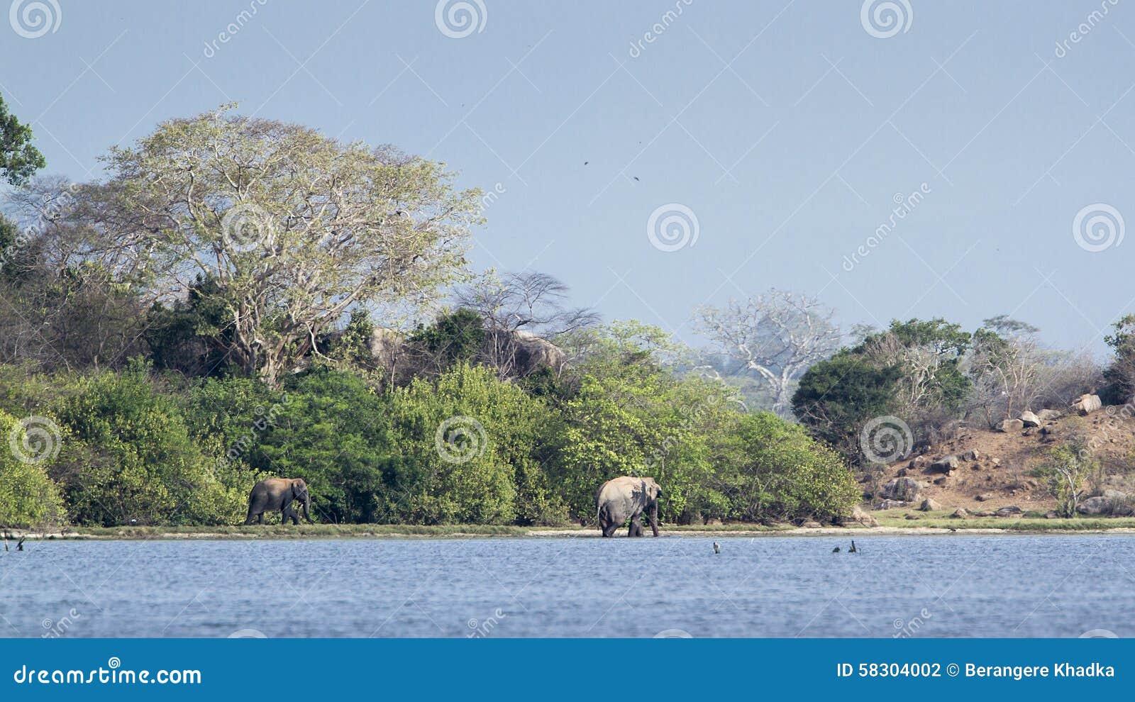 Одичалые слоны и ландшафт в Шри-Ланке