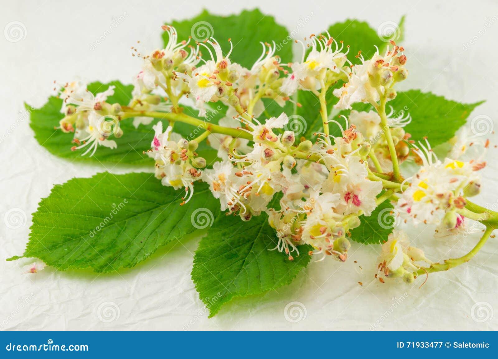 Одичалые цветки каштана в цветени