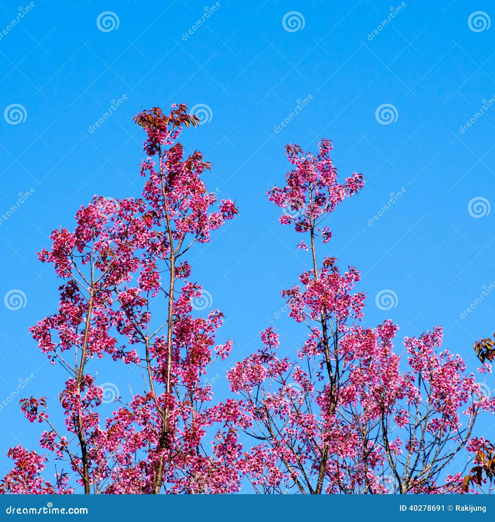 Одичалый гималайский цветок вишни