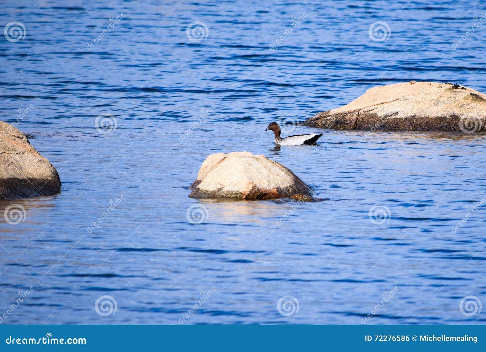 Download Одна австралийская деревянная утка плавая около утесов в озере Jindabyne Стоковое Фото - изображение насчитывающей утесы, одиночно: 72276586