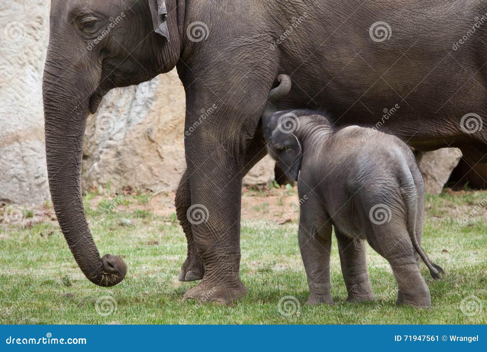 Одн-месяц-старый индийский слон (indicus maximus Elephas) со своим
