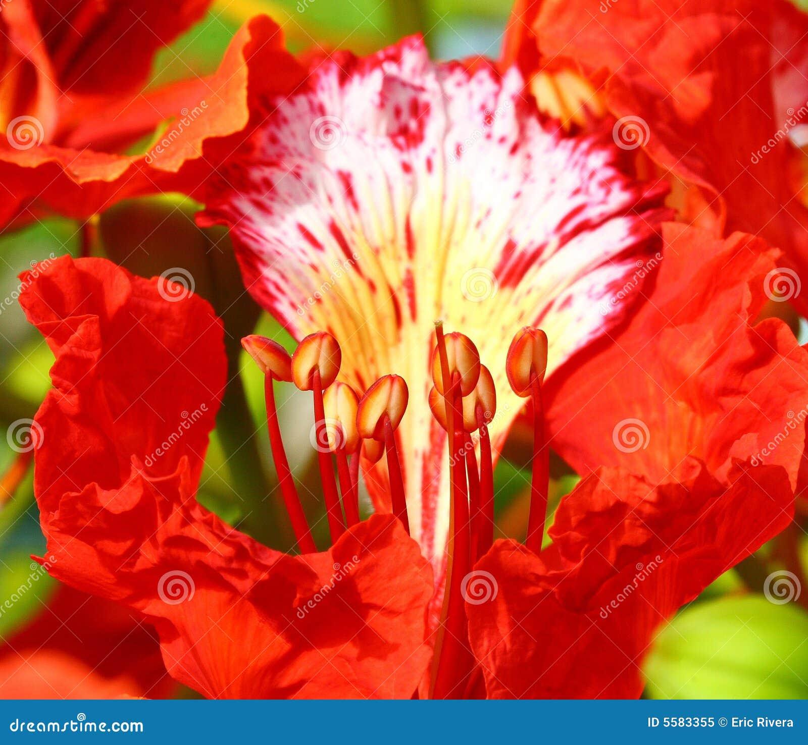 павлин цветка