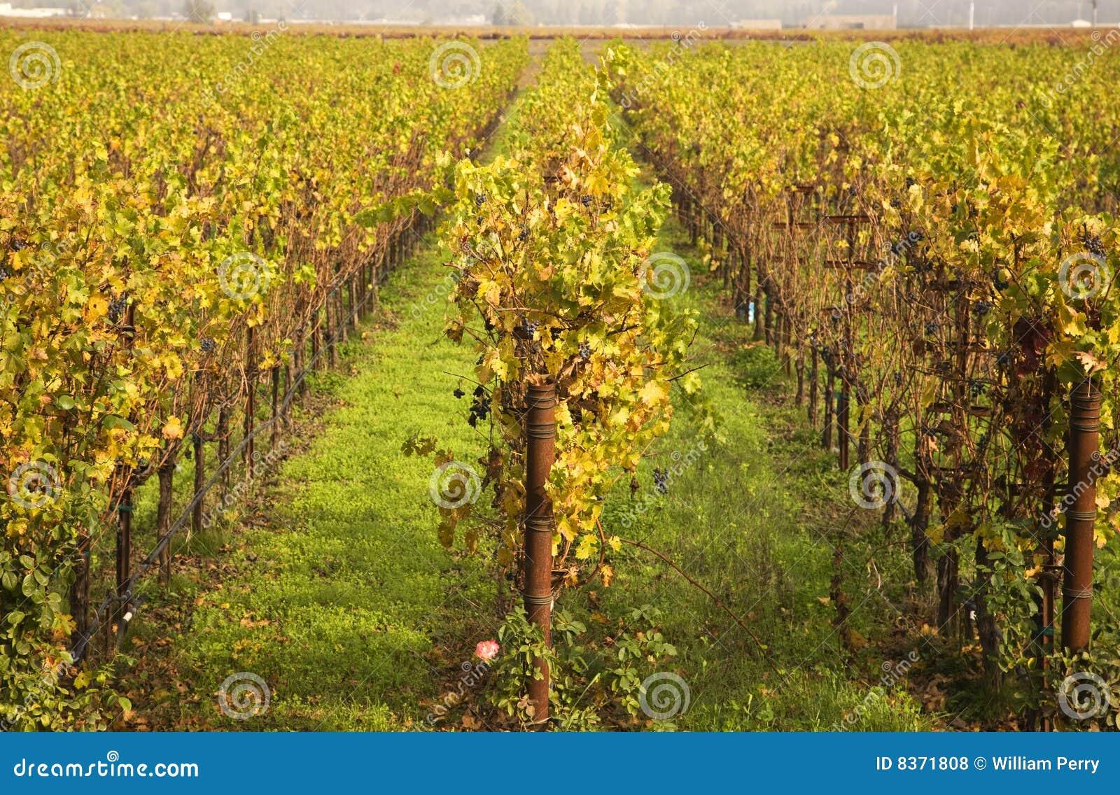 падение выходит лозам рядков napa желтый цвет виноградников