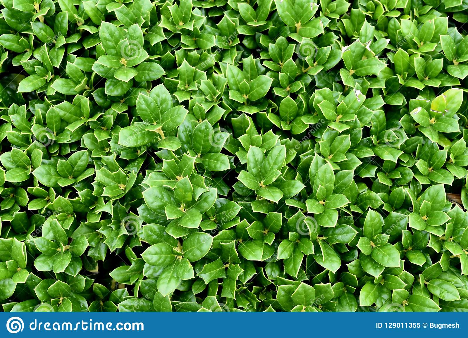 Падуб Буш Carissa, вечнозелёное растение, компактный завод, 24 дюйма