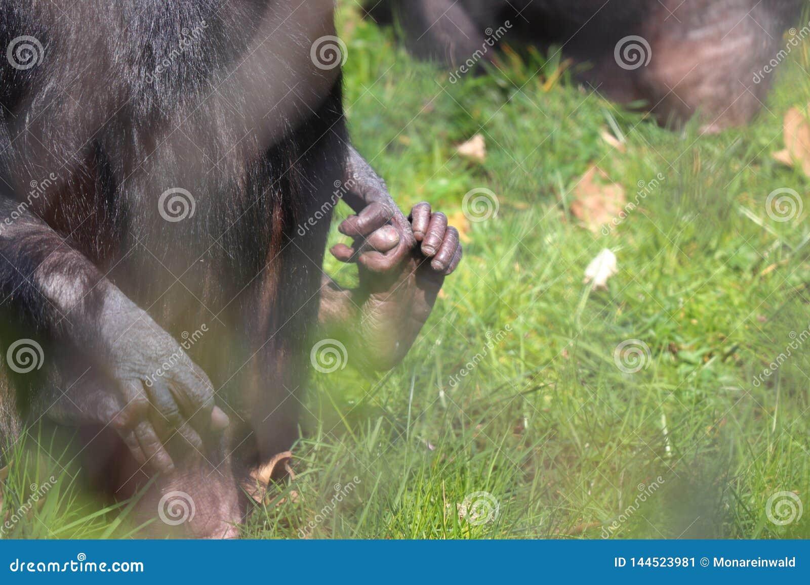 Палец ноги обезьяны младенца с матерью в зоопарке