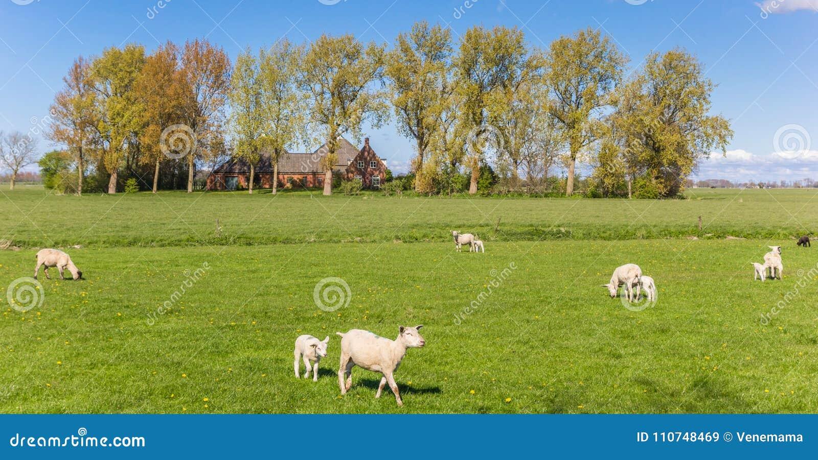 Панорама белых овец и фермы около Groningen