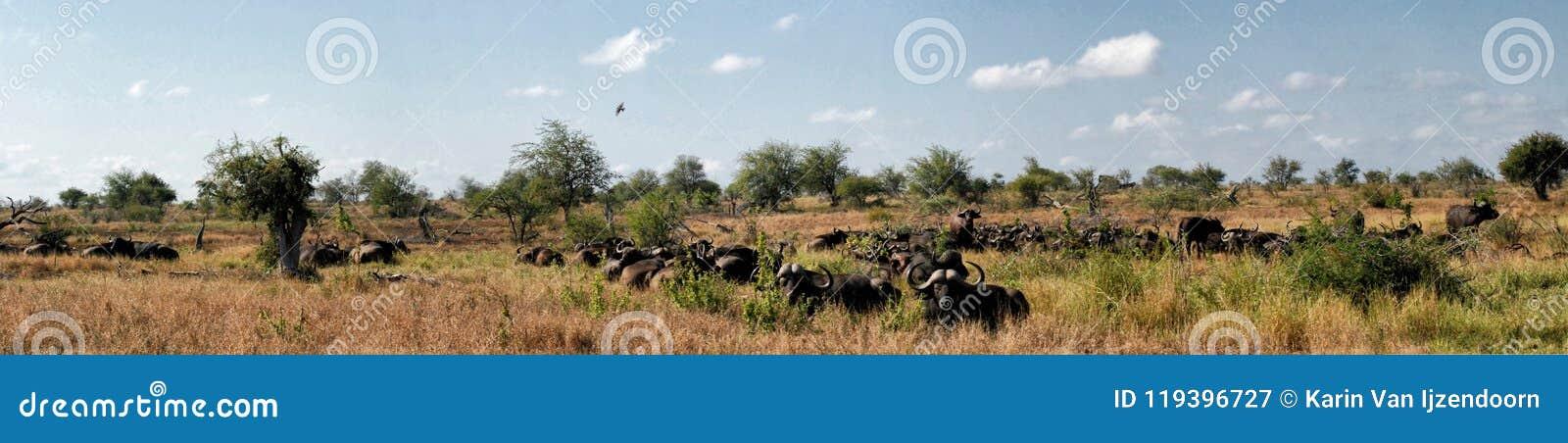 Панорама табуна африканского буйвола в африканском ландшафте