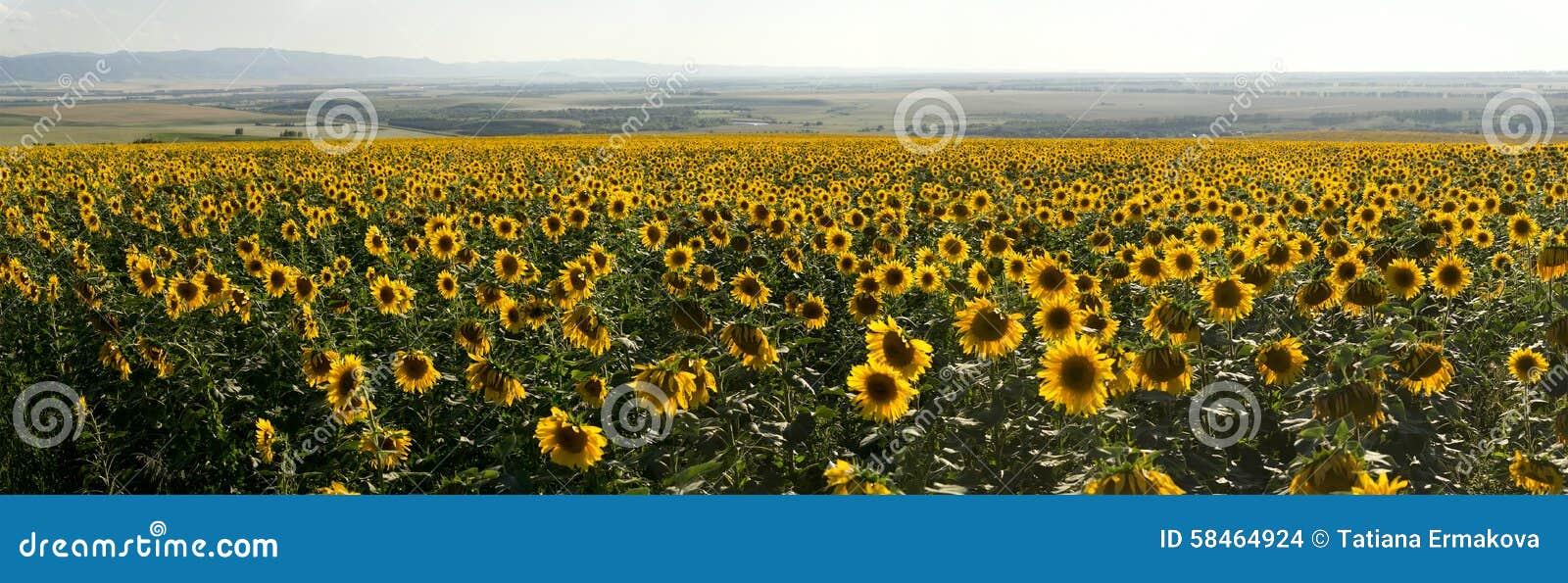 Панорама луга солнцецветов земледелия