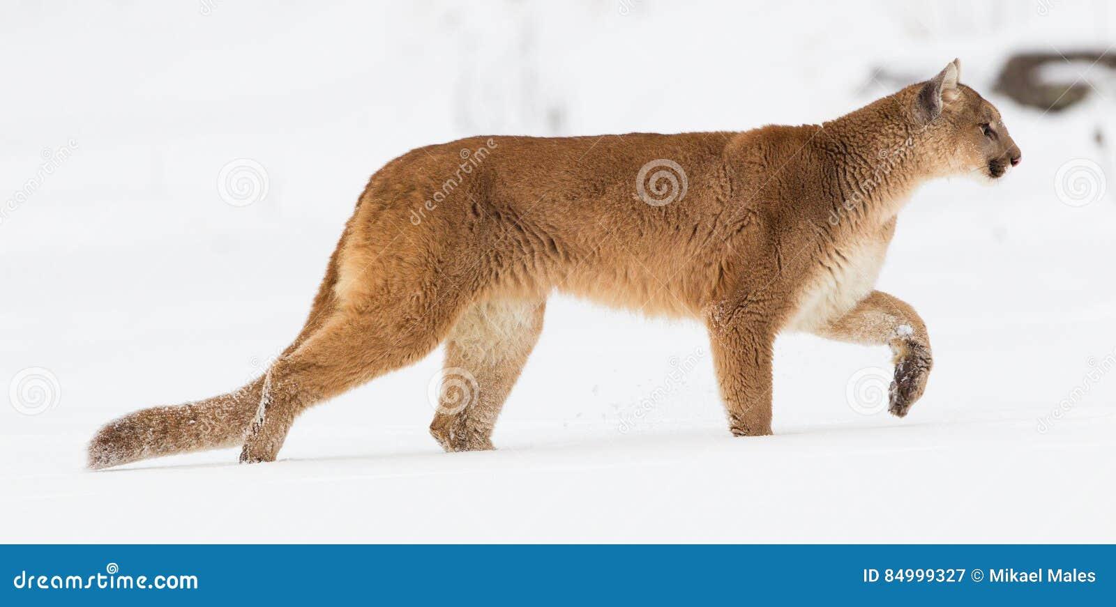 Панорамный портрет льва горы
