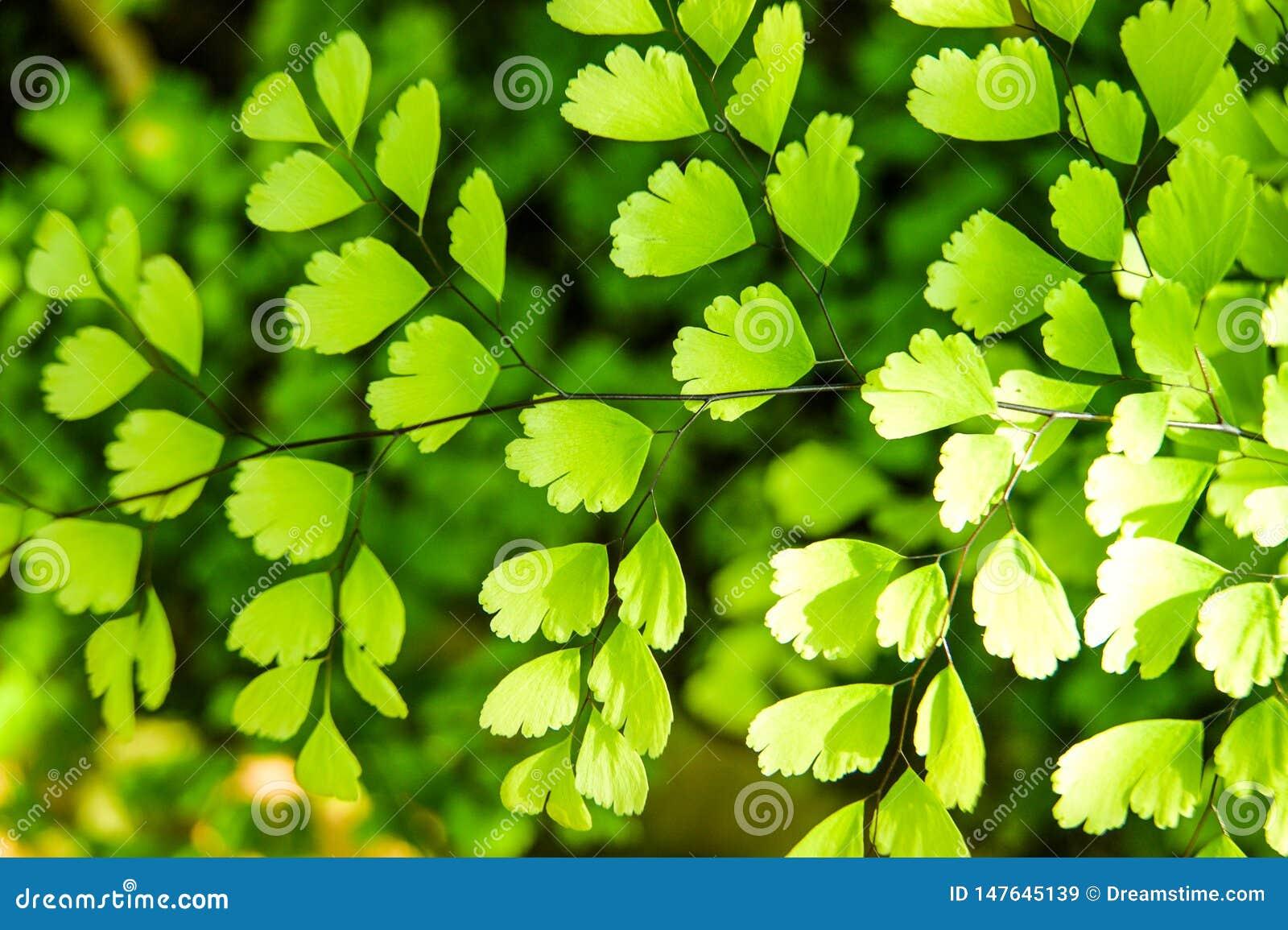 папоротник maidenhair - сад adiantum ботанический