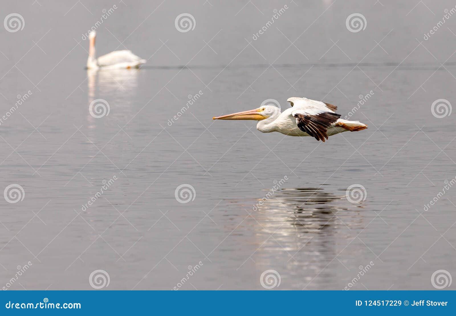 Пара американских белых пеликанов плавая и летая на северовосточное озеро Колорадо