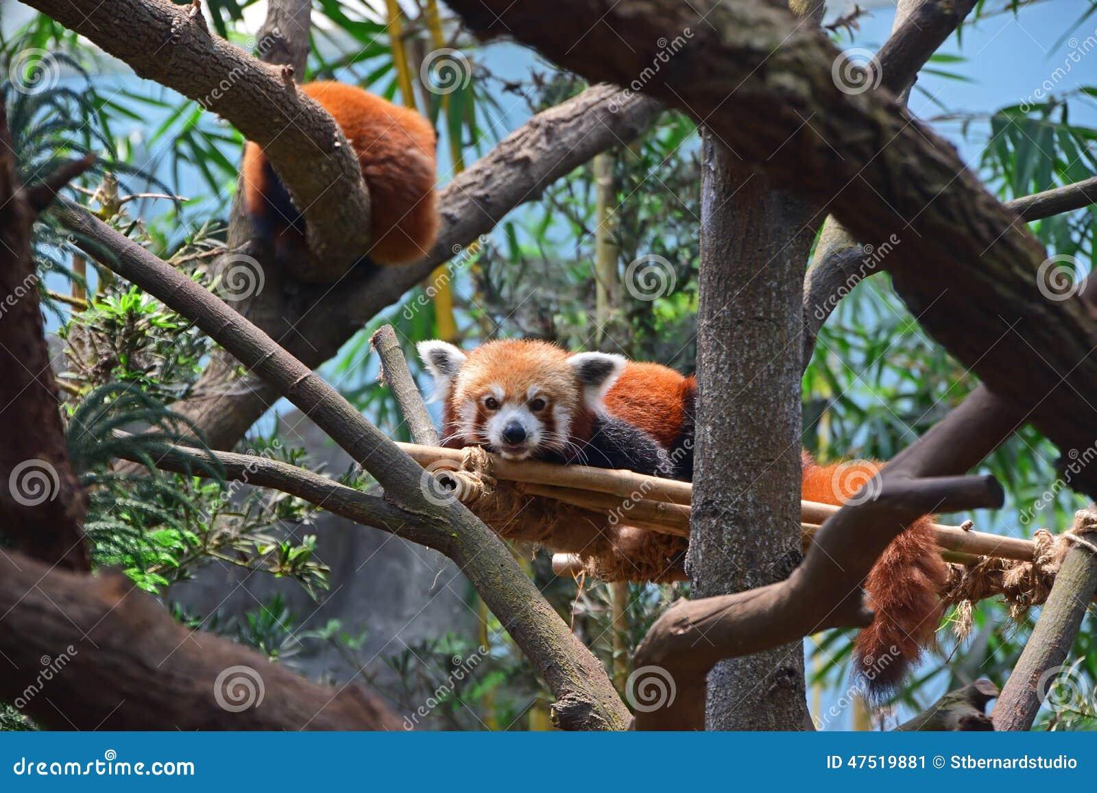 Пара красной панды отдыхая на человеке сделала бамбуковую поддержку