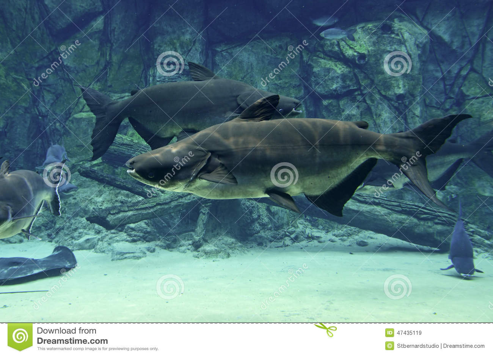 Пара сома Меконга гигантского плавая устойчиво в противоположном направлении