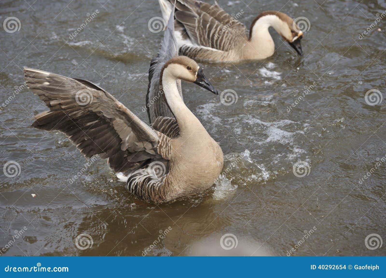 Пара утки воды