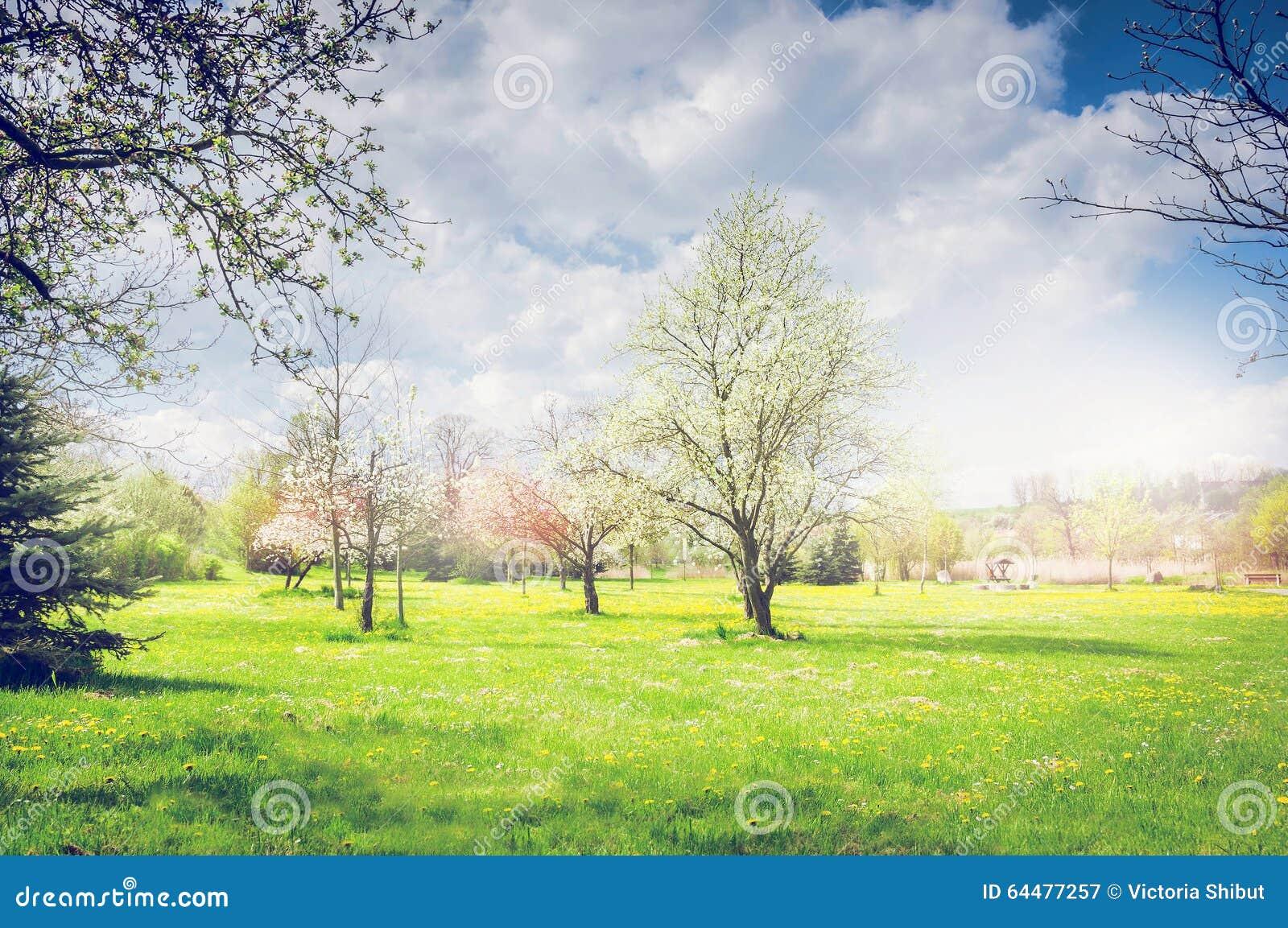 Парк или сад весны с зацветая фруктовыми дерев дерев, зеленой лужайкой и небом