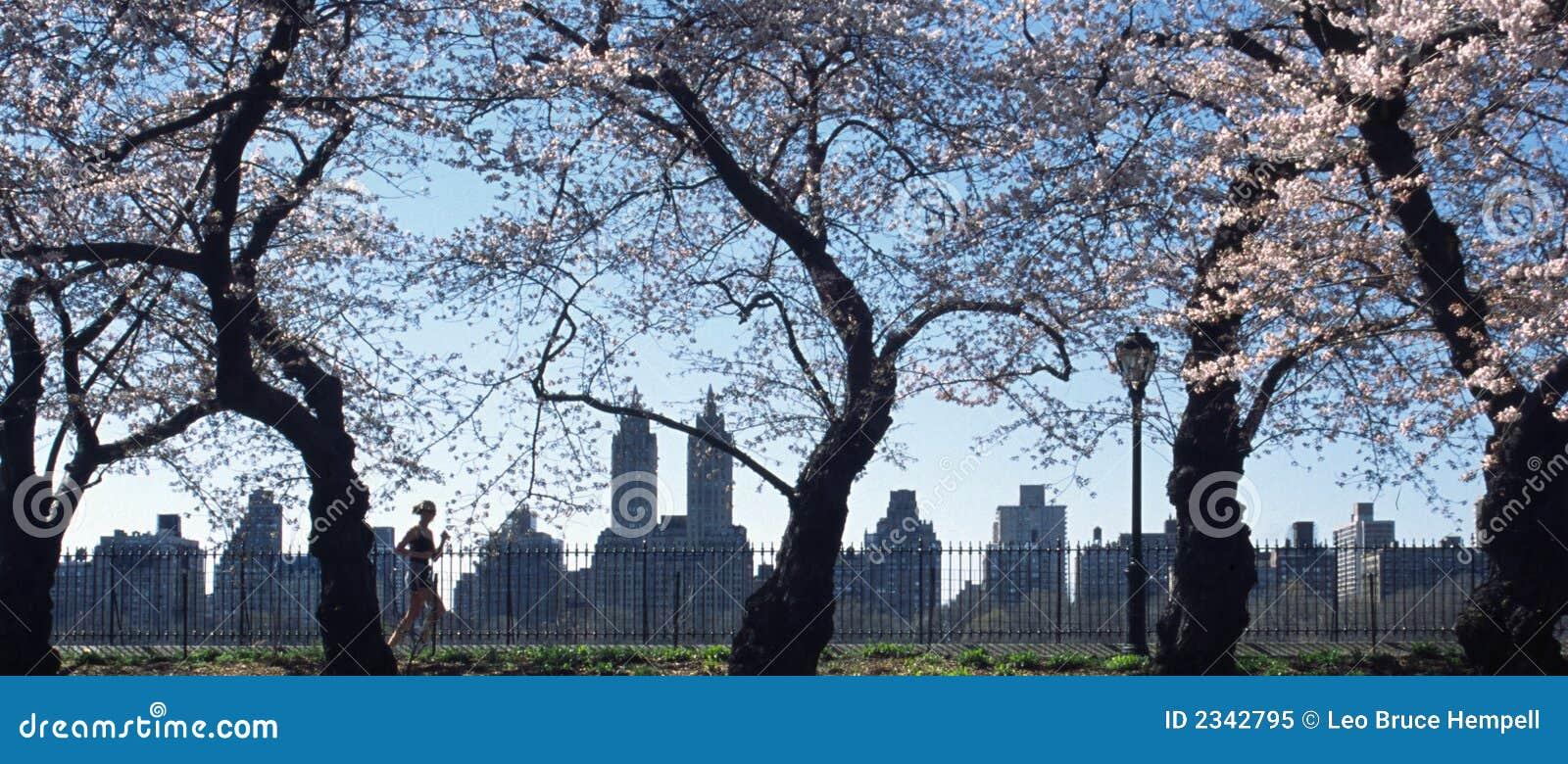парк york центральной вишни цветений новый