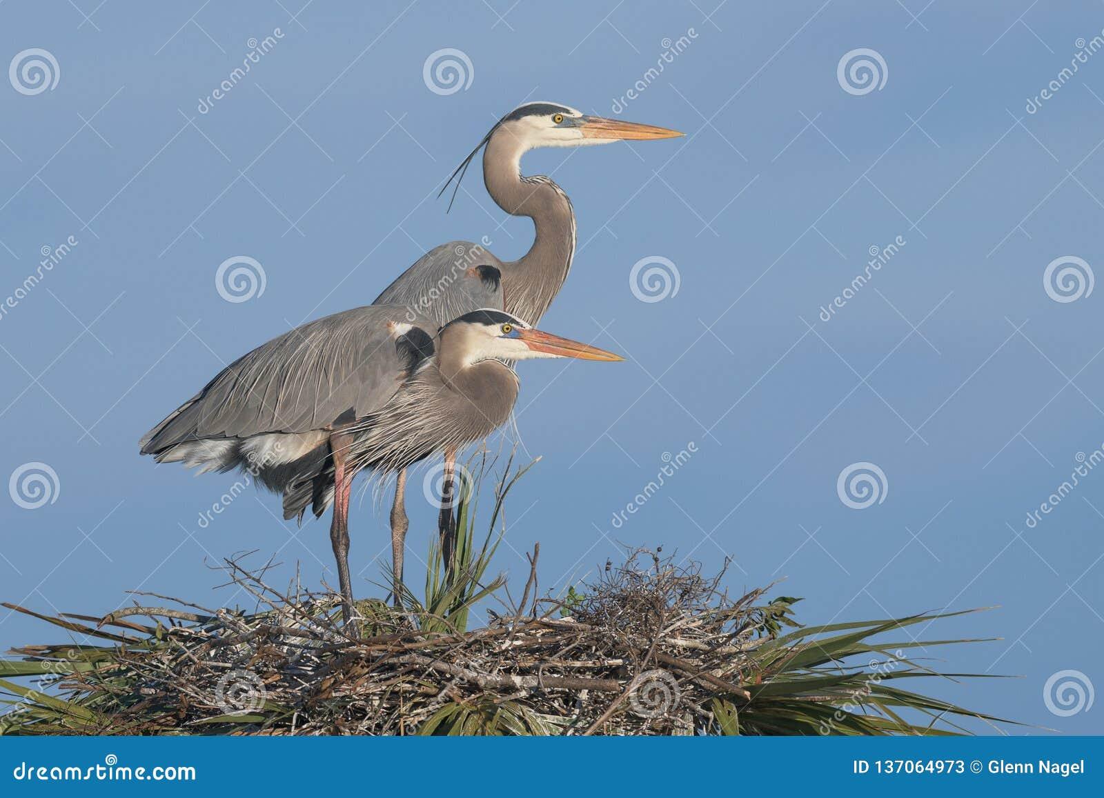 Пары больших голубых цапель на гнезде