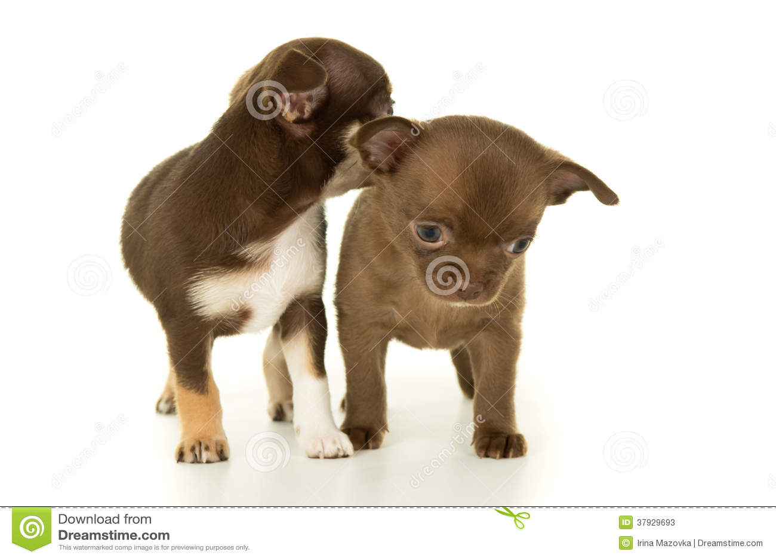 Пары Брайна щенят чихуахуа собак