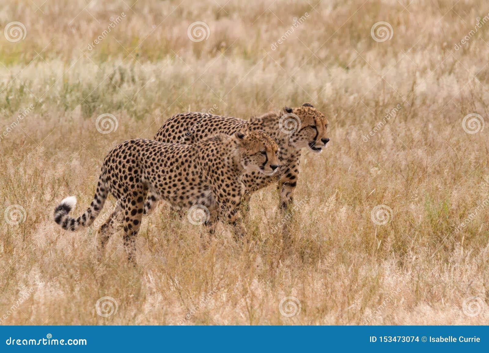 Пары гепарда идя в длинную траву