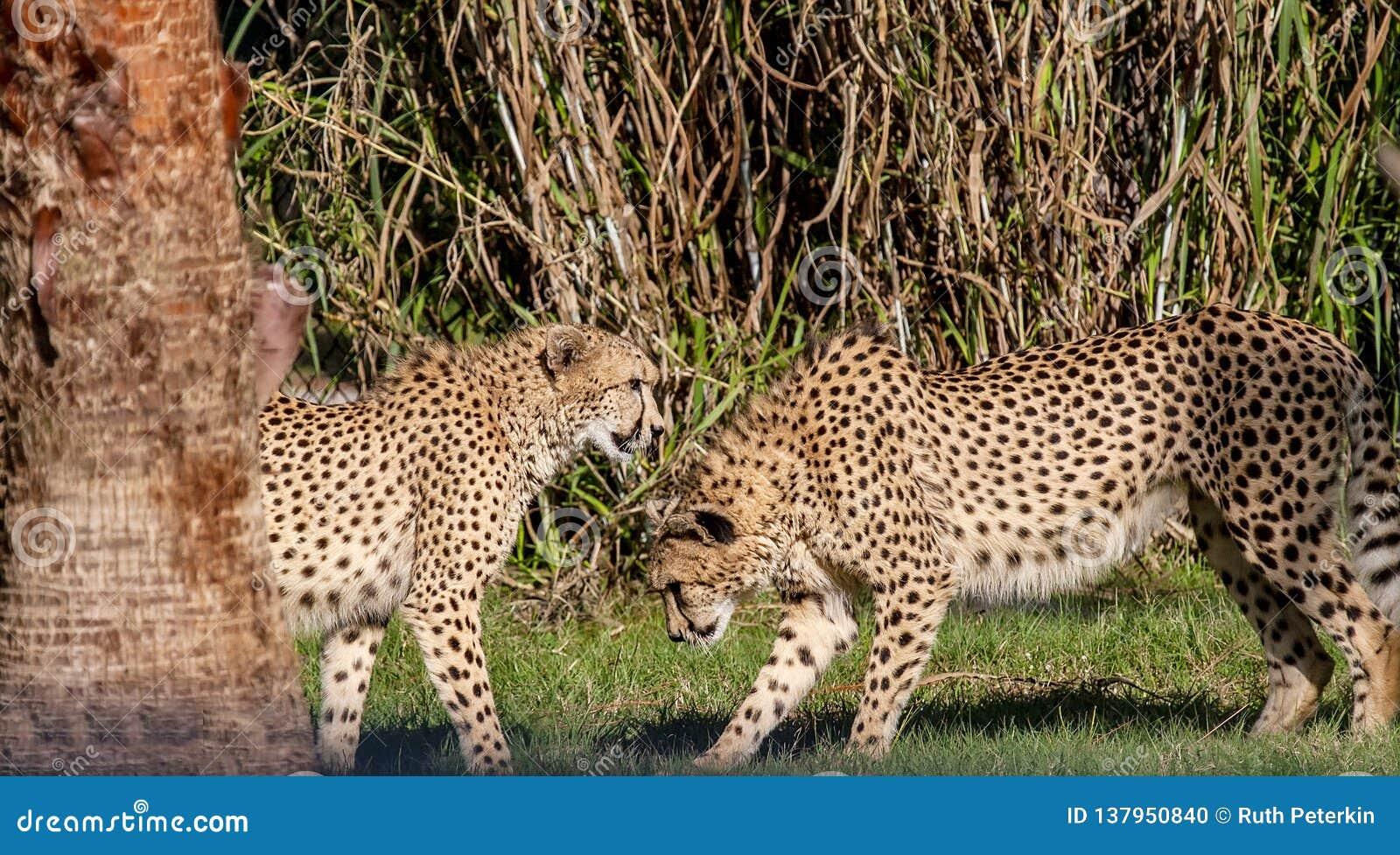 Пары гепарда