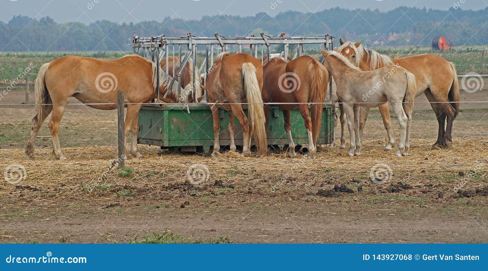 Пары коричневых лошадей едят от пищевого контейнера